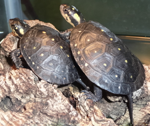 Spotted Turtles, uploaded by kingsnake.com user apeltes