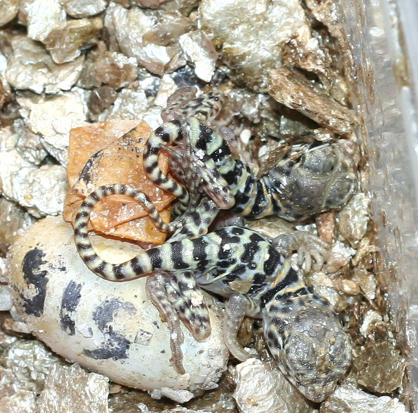 Twins Both resting still attached