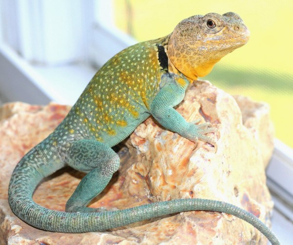 Collared Lizard, uploaded by kingsnake.com user Eve