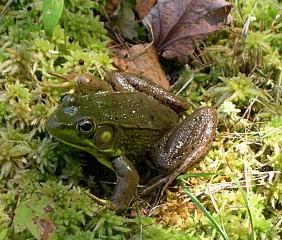 Photo: Bullfrog