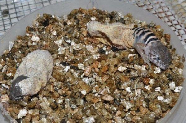 Hatching Baja Collared Lizards
