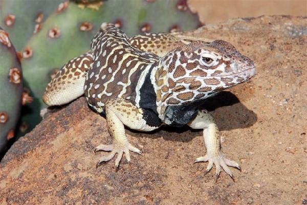 Collared Lizard, uploaded by kingsnake.com user wwwwwells