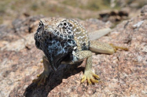 Collared Lizard, uploaded by kingsnake.com user wwwwwells