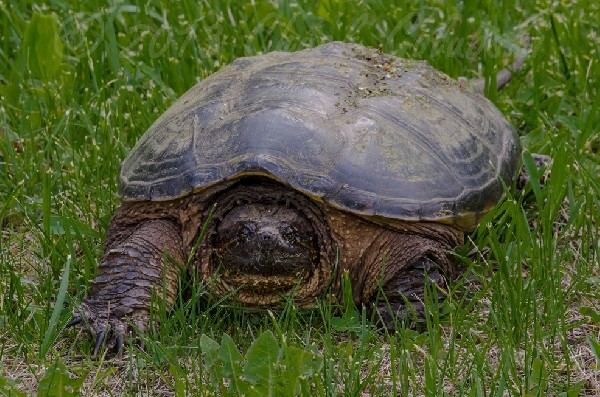 Snapping Turtle, uploaded by kingsnake.com user Minuet