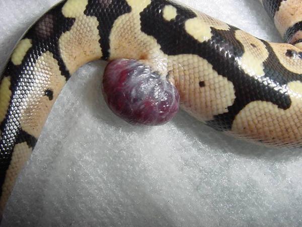 Kingsnake Com Photo Gallery Gt Pythons Gt Growth On Ball Python