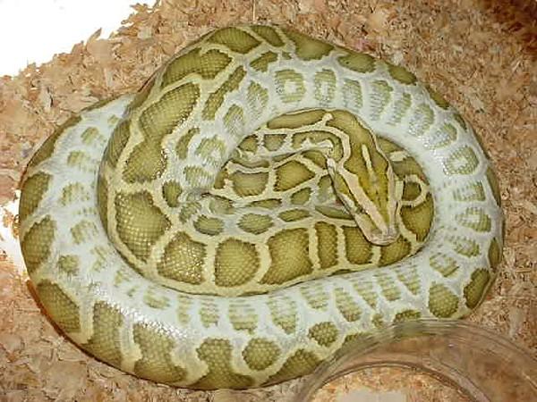 leucistic burmese python