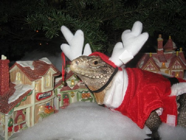 Festive Iguana, uploaded by kingsnake.com user Really