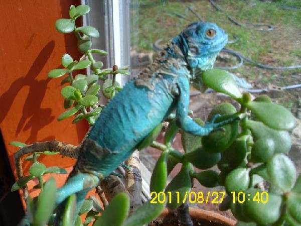 RE Petco Blue Iguanas
