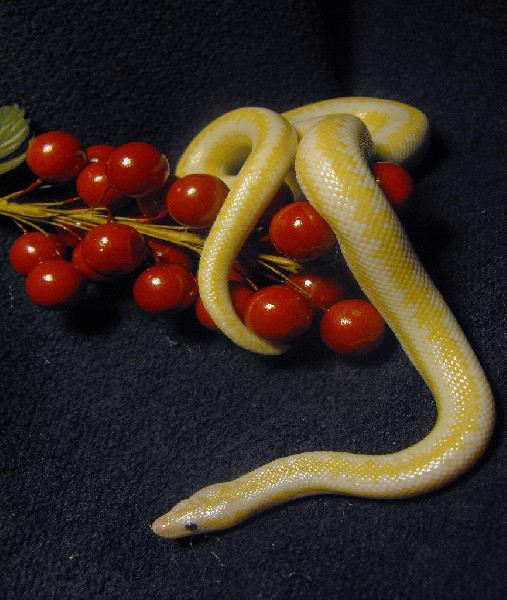 Rosy boa Christmas, uploaded by kingsnake.com user bloodpython_MA