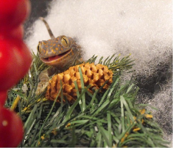 Tokay Christmas, uploaded by kingsnake.com user bloodpython_MA
