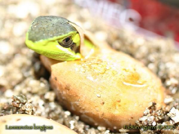 Emerging Conehead Lizard