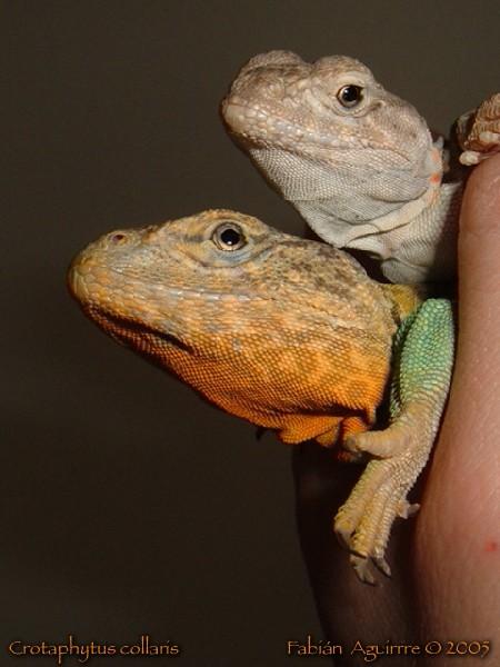 Oklahoma Collared Lizards (Pair)
