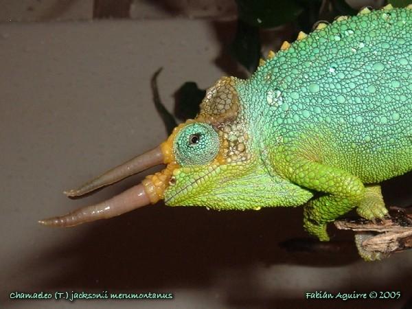 Male Mt. Meru Jackson's Chameleon Shower