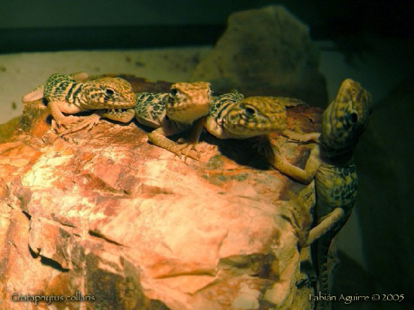 Group of Neonate Collared Lizards