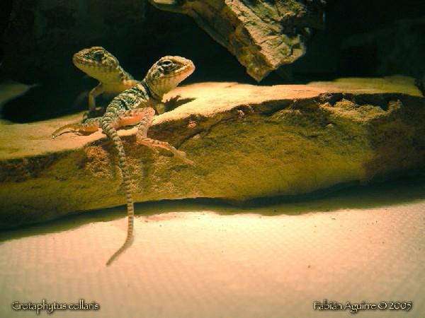 Neonate Collared Lizards (2)