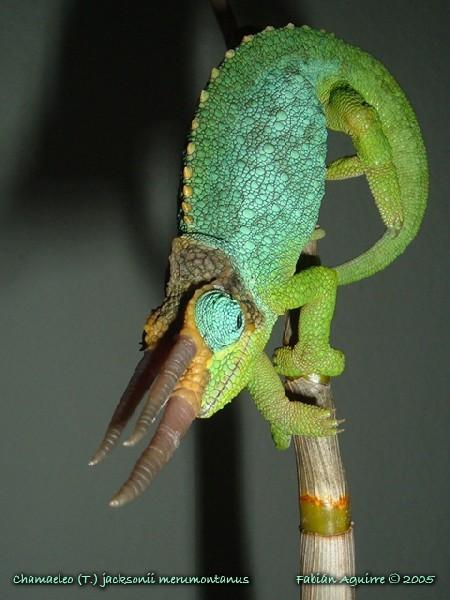 Male Mt. Meru Jackson's Chameleon 001