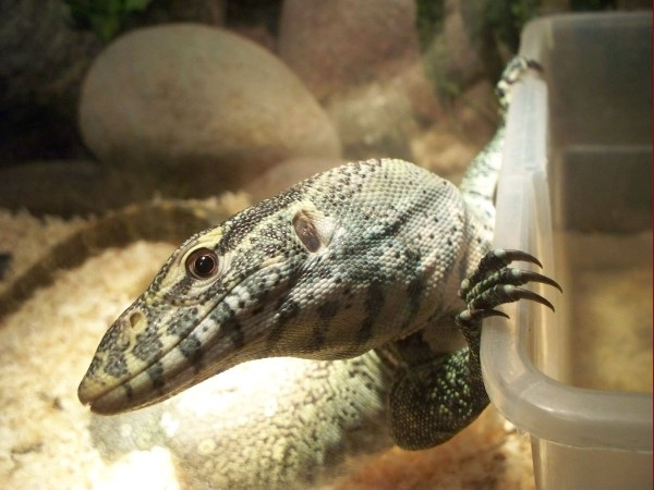 Nile Monitor, uploaded by kingsnake.com user Mantafish