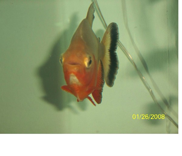 The pacu