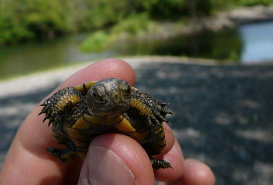 Baby Western Pond Turtle