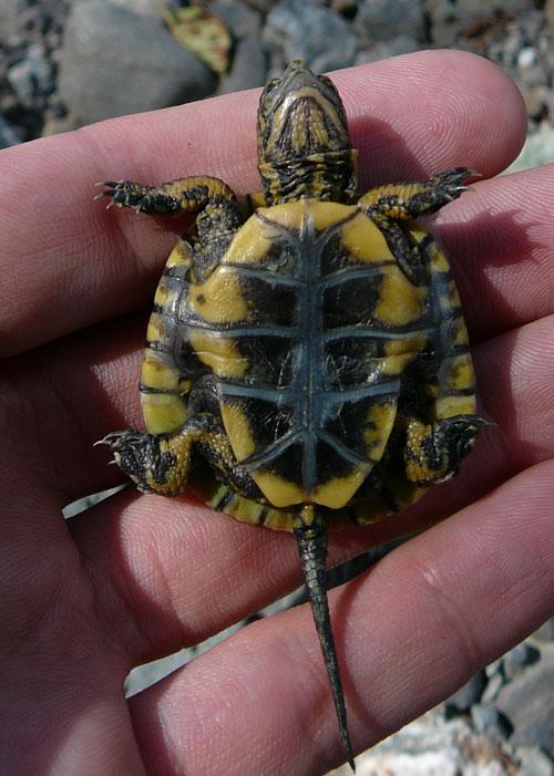 Western pond turtle hatchling