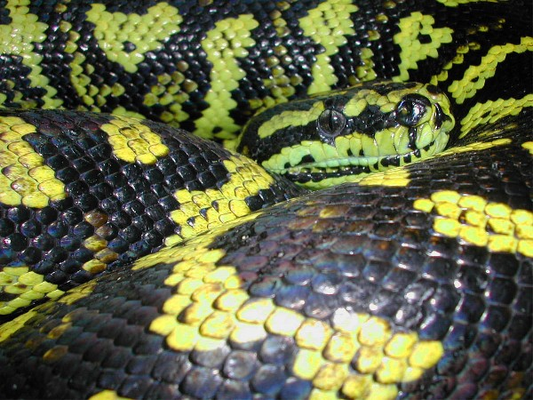 Carpet Python, uploaded by kingsnake.com user dennisr