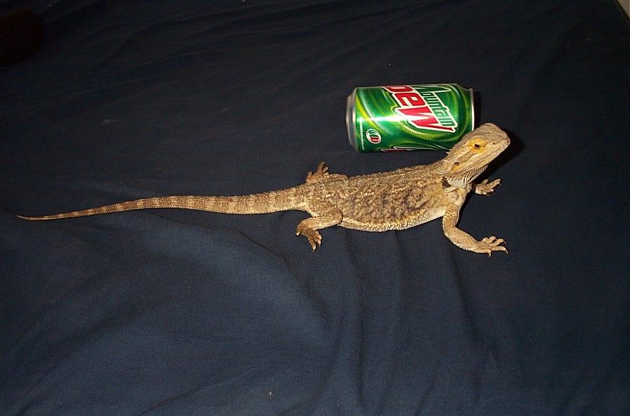 kingsnake.com photo gallery > Bearded Dragons > for size ... Full Grown Bearded Dragon Next To A Ruler