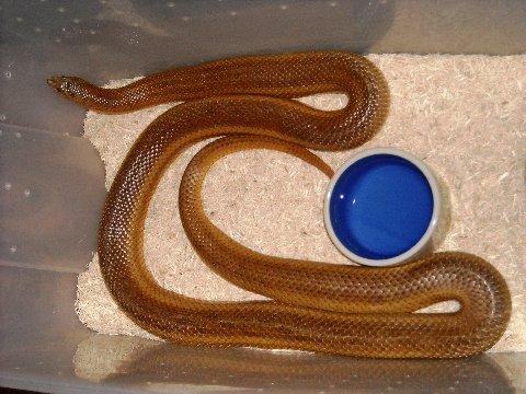 Mole Snake 2