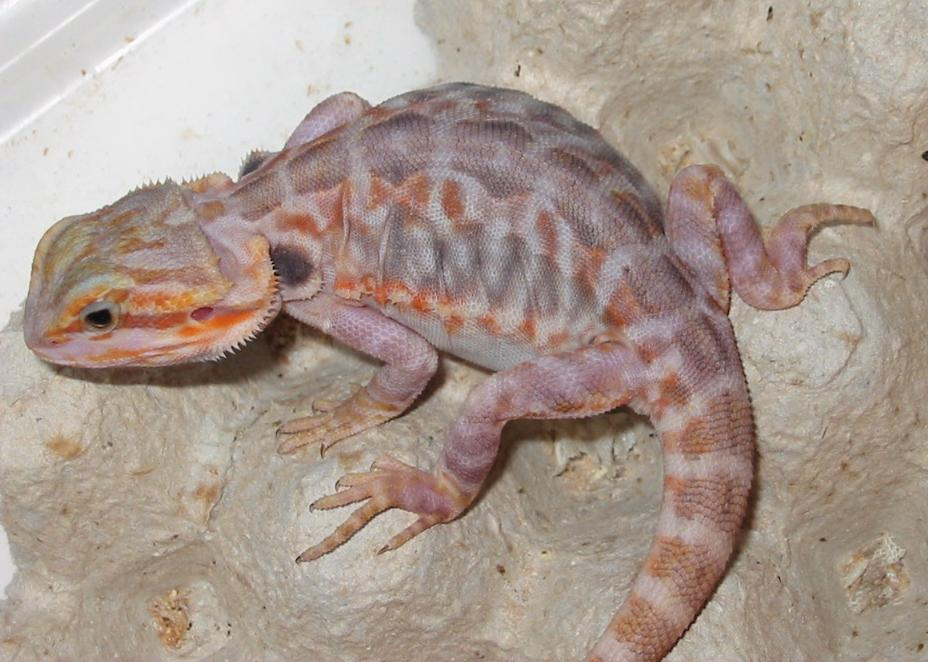 kingsnake com photo gallery > Bearded Dragons > Honoo after