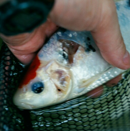 Long ago pic- this fish healed fully