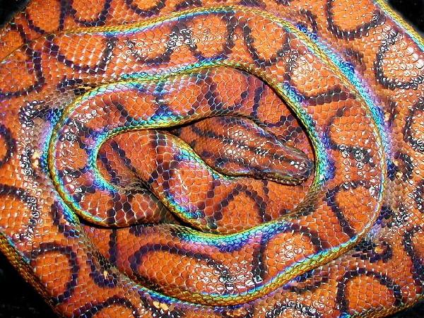 Photo: Rainbow Boa