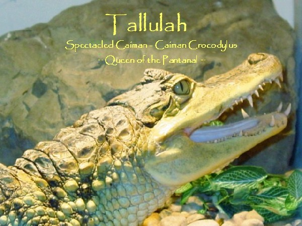 Tallulah 05 - Spectacled Caiman