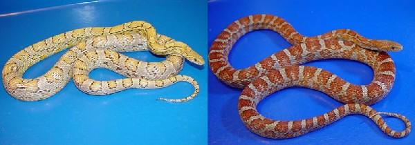 Corn Snake Morphs Comparison