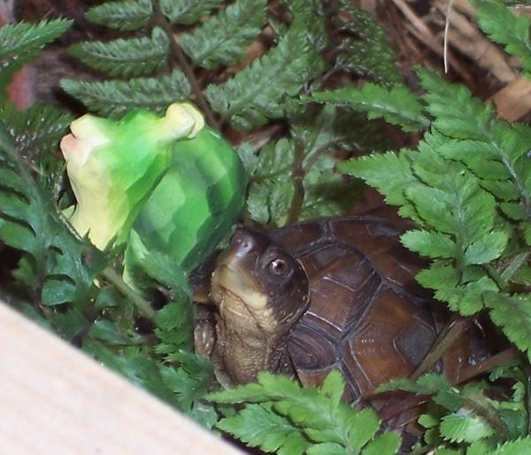 Box Turtle, uploaded by kingsnake.com user Linda G