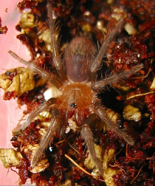 Brachypelma sabulosum
