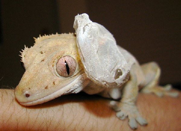 Photo: Crested Gecko