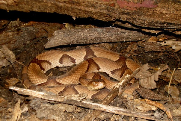 Copperhead, uploaded by kingsnake.com user LSU_Tigress