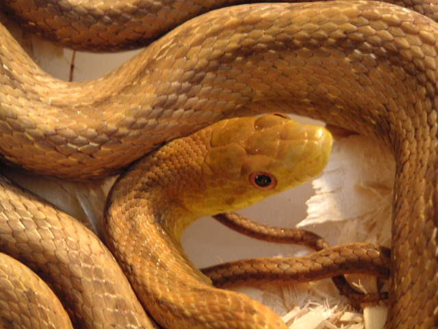 Photo: Yellow ratsnake