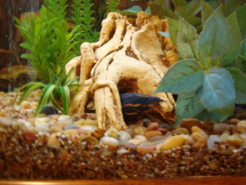 Fire Eel*** Mastacembelidae***Spiny eels