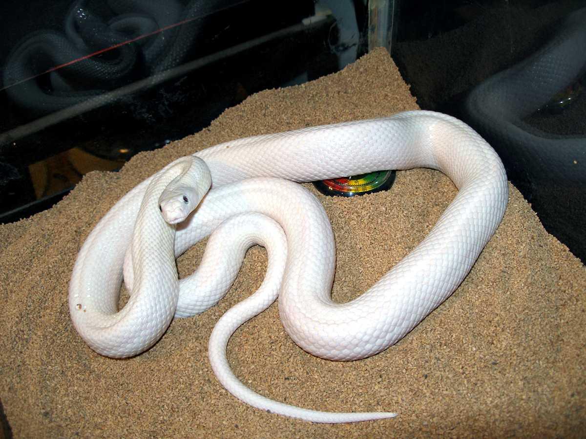 Kingsnake Com Photo Gallery Rat Snakes Leucistic Texas Rat Snake