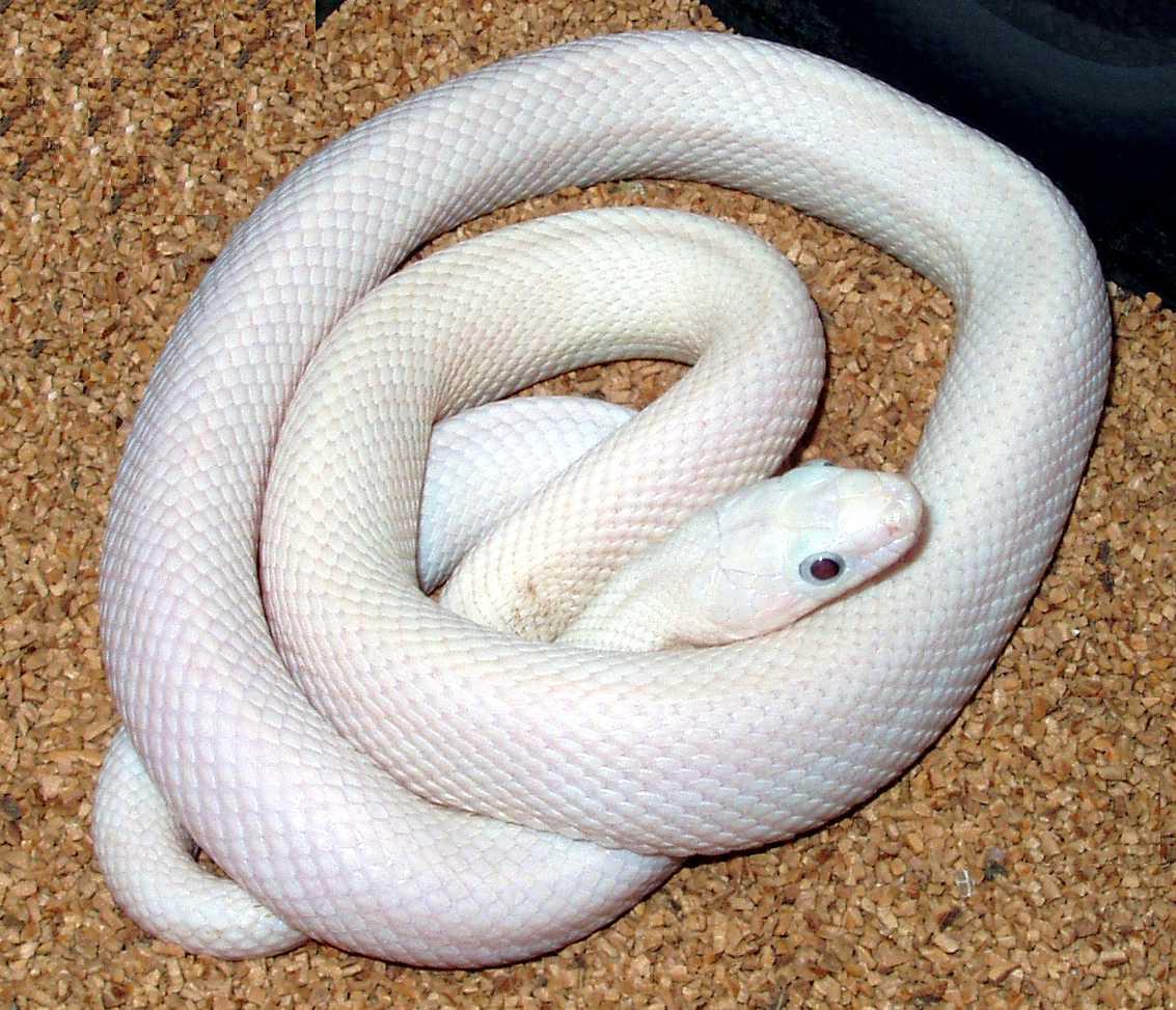 kingsnake com photo gallery > Rat Snakes > Leucistic Texas