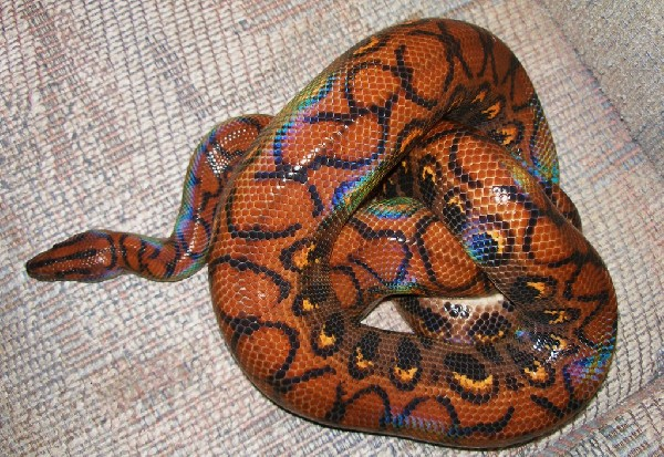 Rainbow boa, uploaded by kingsnake.com user gzyv15a