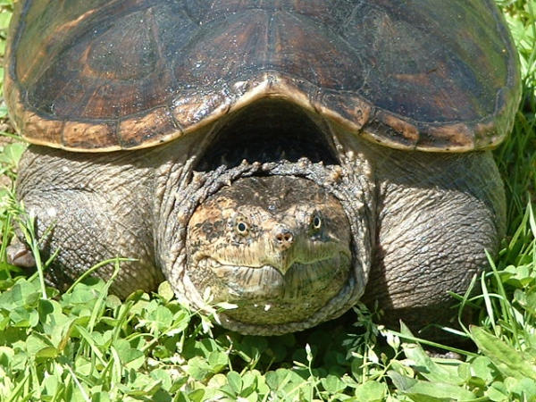 Photo: Snapping Turtle