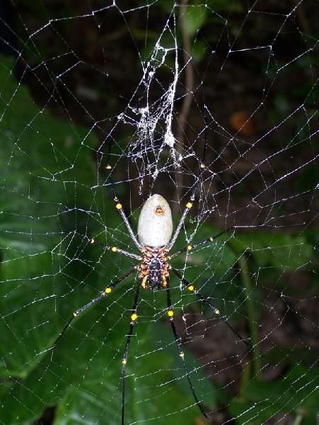 Large Spider2