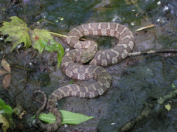 Northern Water Snake, uploaded by kingsnake.com user johne