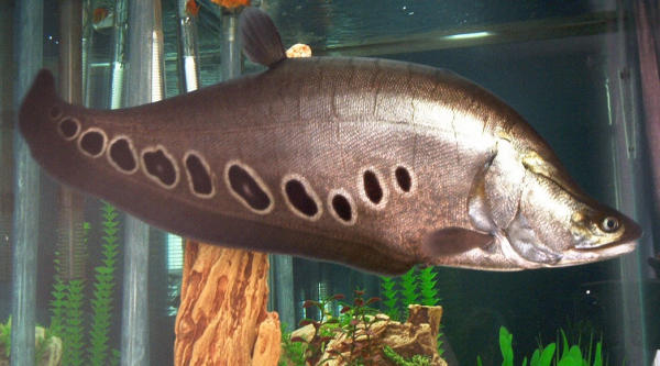 Gallery freshwater 25 in clown knife for Clown knife fish