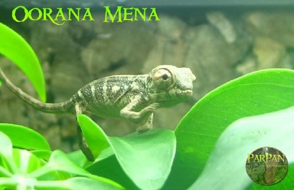 CB Oorana Mena Hatchling