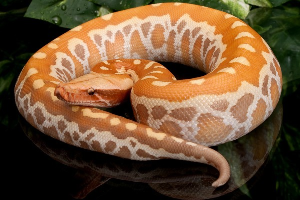 Hatchling Red Albino Blood Python, uploaded by kingsnake.com user AnthonyCaponetto