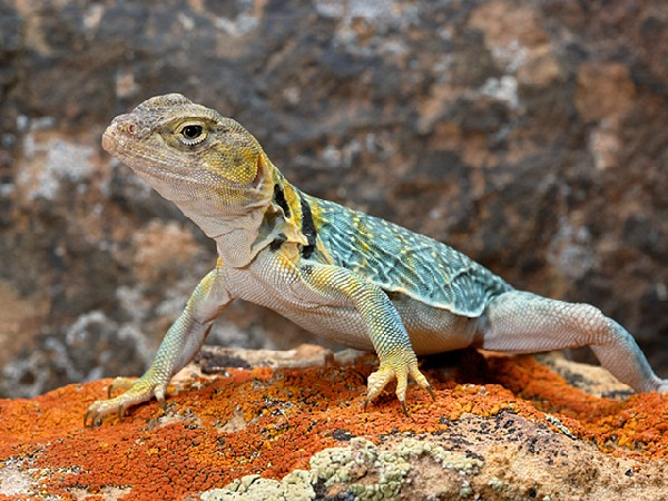 Photo: Collared Lizard