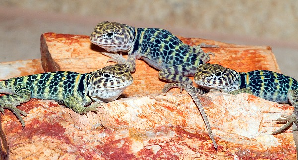 Collared Lizards, uploaded by kingsnake.com user the4thmonkey