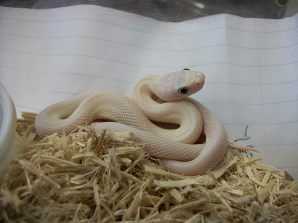 Leucistic Texas Rat Snake, uploaded by kingsnake.com user jcherry
